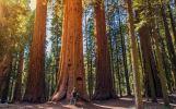 Stromy větší než Petřínská rozhledna: V sekvojovém lese si připadáte jako mravenec