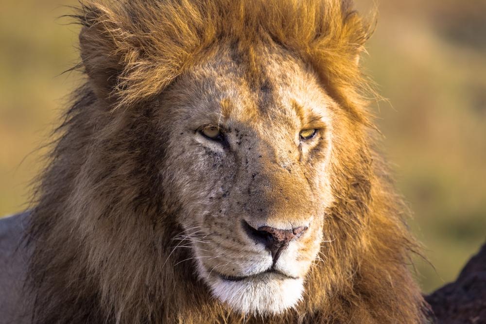 lev v Masai Maara