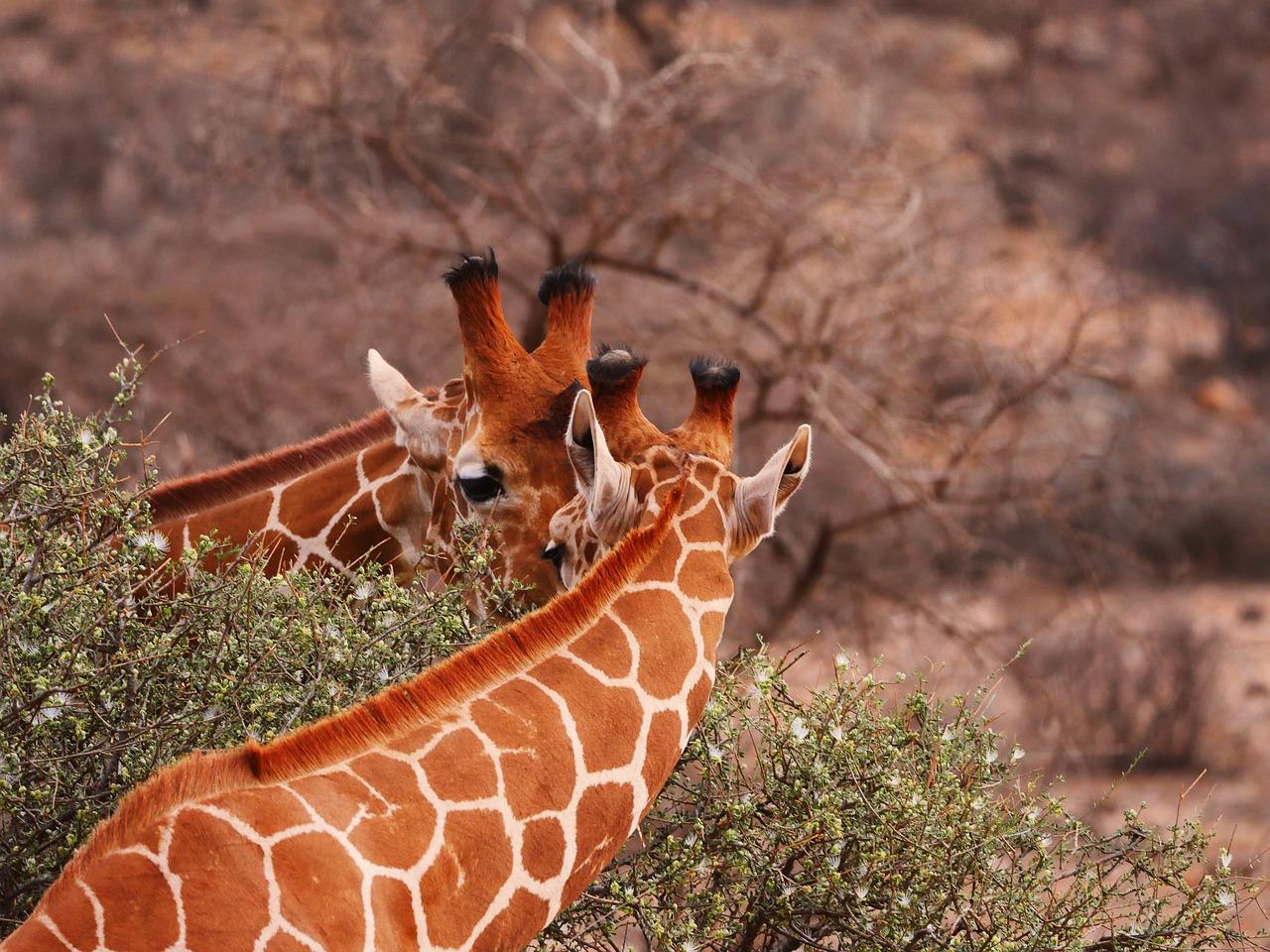 žirafy v NP Samburu