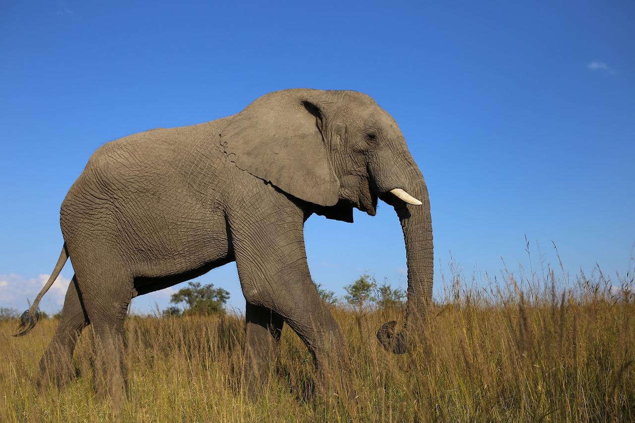 Slon s kly v národním parku