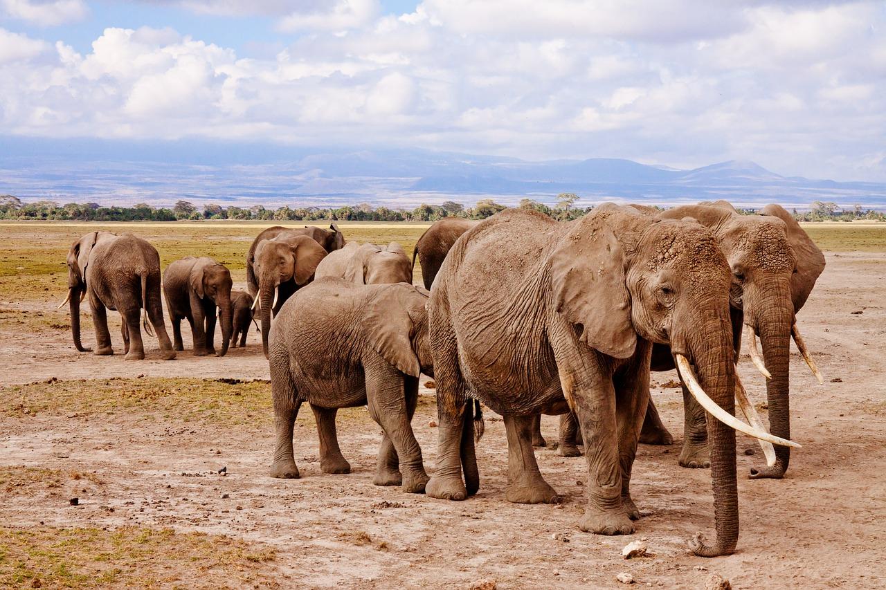 sloni v národním parku Amboseli