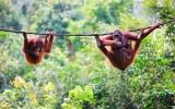 Na metr od orangutanů. V Sandakanu na Borneu mají svůj ráj