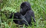 Když turisté zachraňují gorily: Gorilí turistika je lákadlem Ugandy a Rwandy