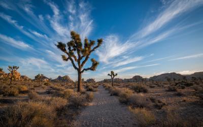 Joshua Tree (yucca brevifolia), připomínal mormonům paže starozákonního vůdce Jošui, který jim kyne k zemi zaslíbené. | Joshua Tree NP