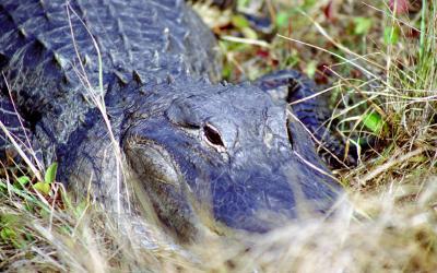Aligátor | Evereglades NP