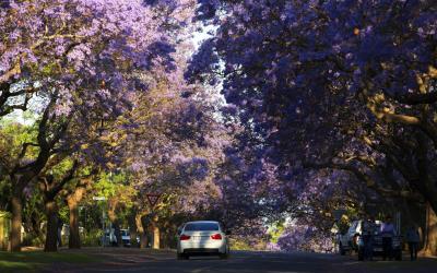 V podzimním zajetí nádherných žakarand... | Pretoria