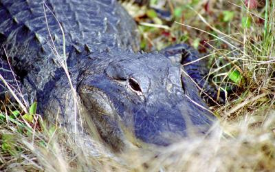 Aligator | Evereglades NP