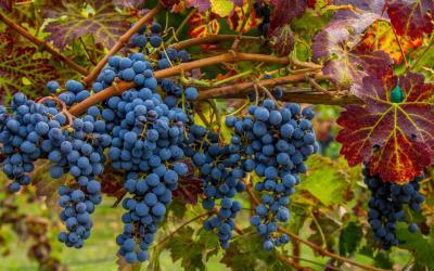 Kalifornská vína patří k nejlepším na světě... | Napa Valley