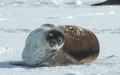Tuleň Wedellův má tipickou kulatou hlavu
