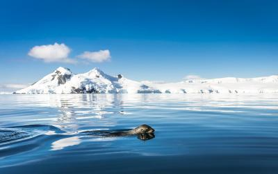 Lachtan antarktický