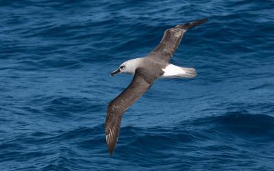 Albatros šedohlavý