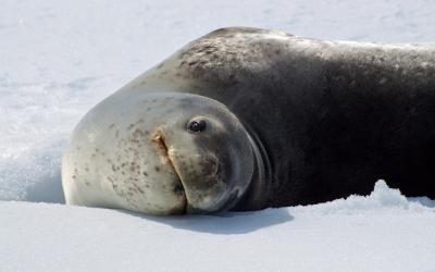 Tuleň leopardí - jméno mu dala skvrnitá srst