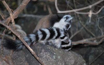 Lemur Kata | Madagaskar - Park Anja 2