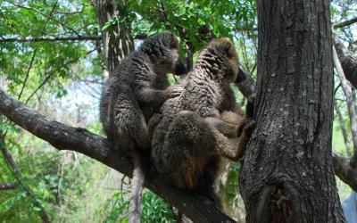Lemur hnědý | Madagaskar - Národní park Isalo