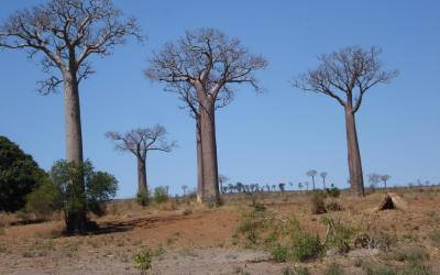 Baobaby | Madagaskar - Ifaty