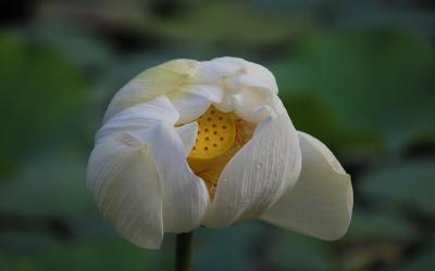 Botanická zahrada Pamplaemousses květ leknínu | Mauritius Pamplemousses