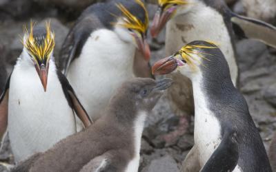 Tučňák žlutorohý