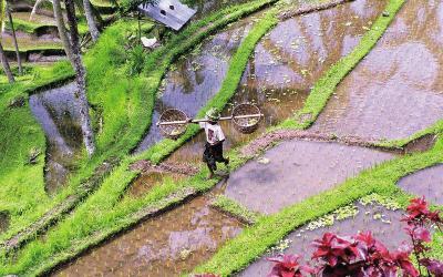 Bali rýžové terasy | Indonésie