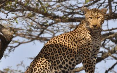 Leopard - N.P.Yala