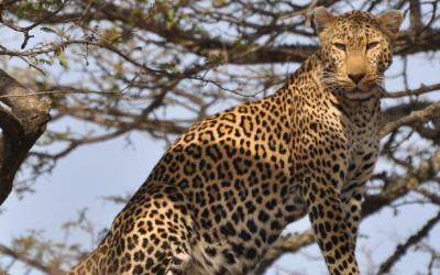 Leopard - N.P.Yala | Srí Lanka