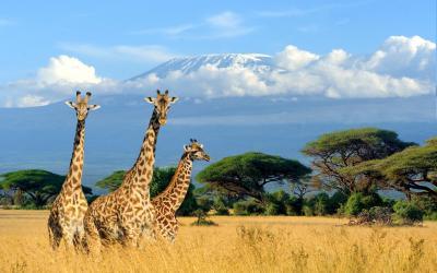 Žirafy v Amboseli