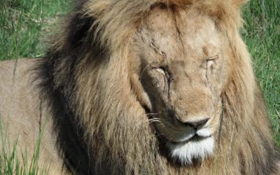 Lev - Masai Mara