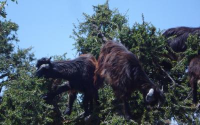 Kozy na argánovém stromě | Maroko