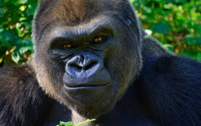 Uganda | Bwindi NP_horská gorila