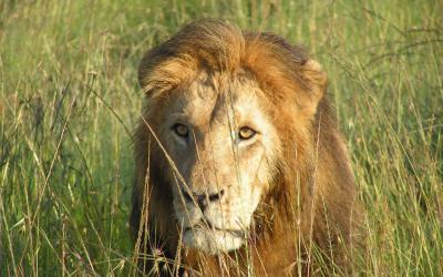 Masai Mara, lev | Keňa