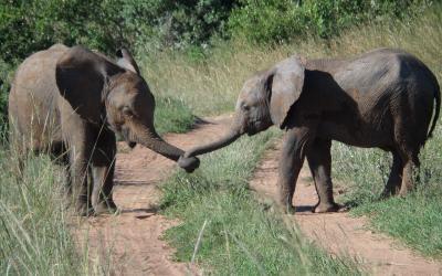 Rezervace Masai Mara, sloni | Keňa