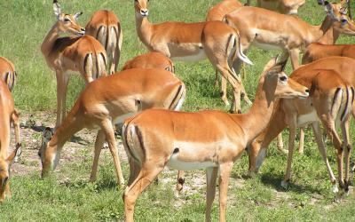 Rezervace Masai Mara, impaly | Keňa