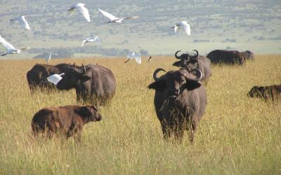 Rezervace Masai Mara, buvoli | Keňa