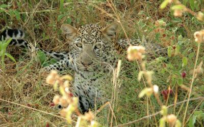 NP Tsavo East, leopard | Keňa