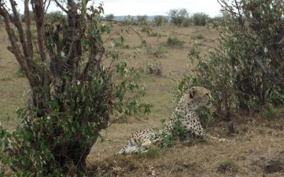 Masai Mara, gepard | Keňa