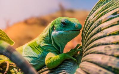 chameleon |  Madagaskar
