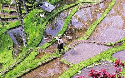 Bali rýžové terasy