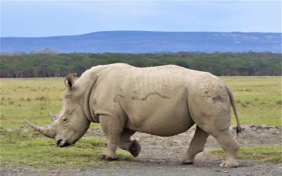 Nosorožec na cestě 2