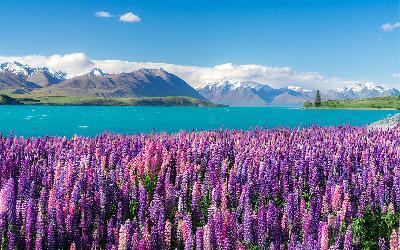 Nový Zéland | Lupin Flowers