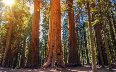 Yosemite NP - sekvoje v Mariposa Grove