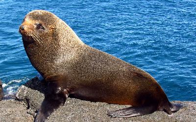 1280px-Galapagos_Fur_Seal,_Santiago_Island