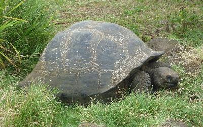 1280px-Gigantic_Turtle_on_the_Island_of_Santa_Cruz_in_the_Galapagos