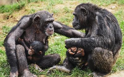Chimpanzi