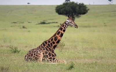 giraffe-4499694_1920