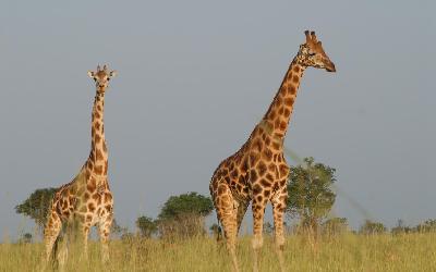 giraffes-513520_1920