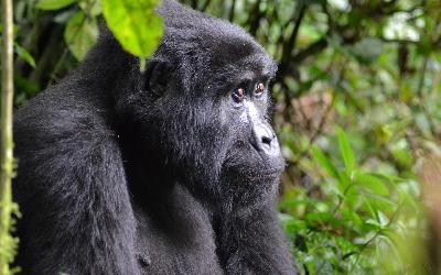 gorilla-3944127