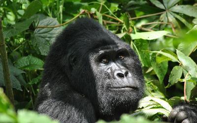 gorilla-5108064