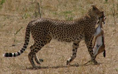 Masai Mara NP, lovec | Keňa