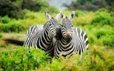 Zebry | Keňa