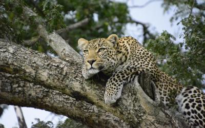 Masai Mara NP, levhart | Keňa