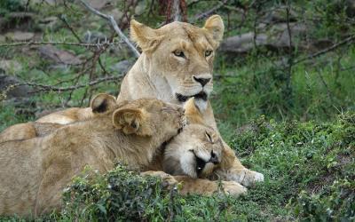 Masai Mara NP, lvice s lvíčaty | Keňa